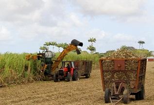 cane cutting